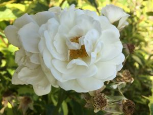 Close-up of Grandads White Rose