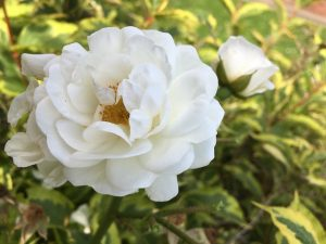 Grandads Rose Close Up